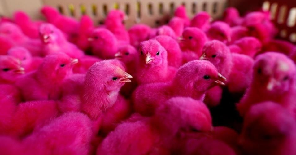 18.mai.2016 - Pintinhos foram tingidos de rosa para chamar atenção e tentar aumentar as vendas no mercado de pequenas aves em Jacarta, na Indonésia