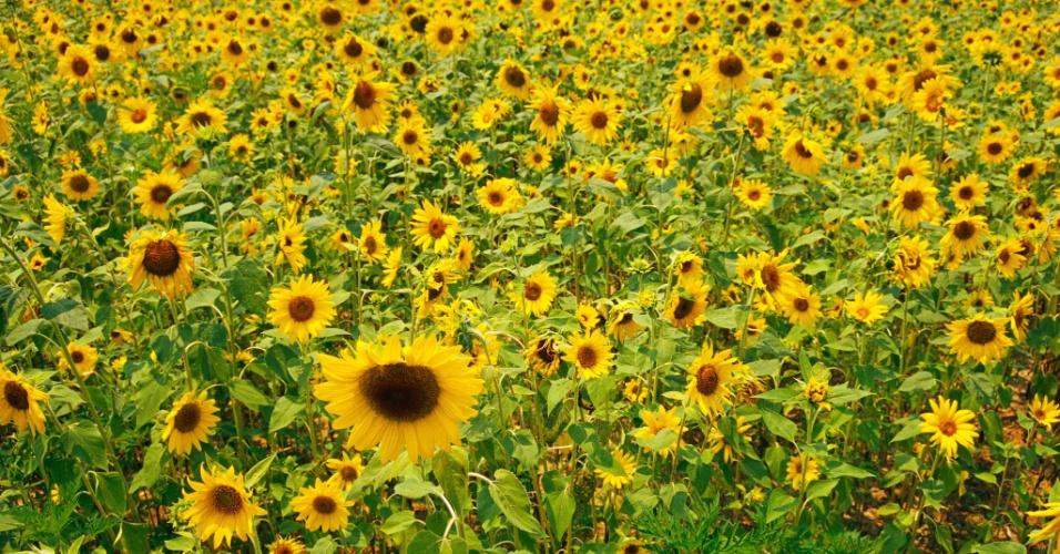 27.jul.2016 - Um campo de girassóis. Cultivadas inicialmente na América do Norte há mais de 5 mil anos, os girassóis eram usados pelos índios americanos para alimentação, extração de tinta, decoração e medicina