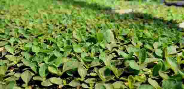 Plantação de tabaco - Diogo Zanatta - Diogo Zanatta