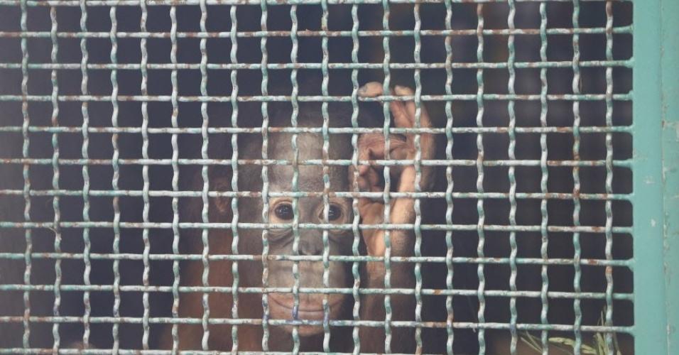 9.fev.2016 - Orangotango Moza é colocado em uma gaiola em Jacarta, Indonésia. Sete orangotangos, incluindo Moza, serão transportados para Sumatra