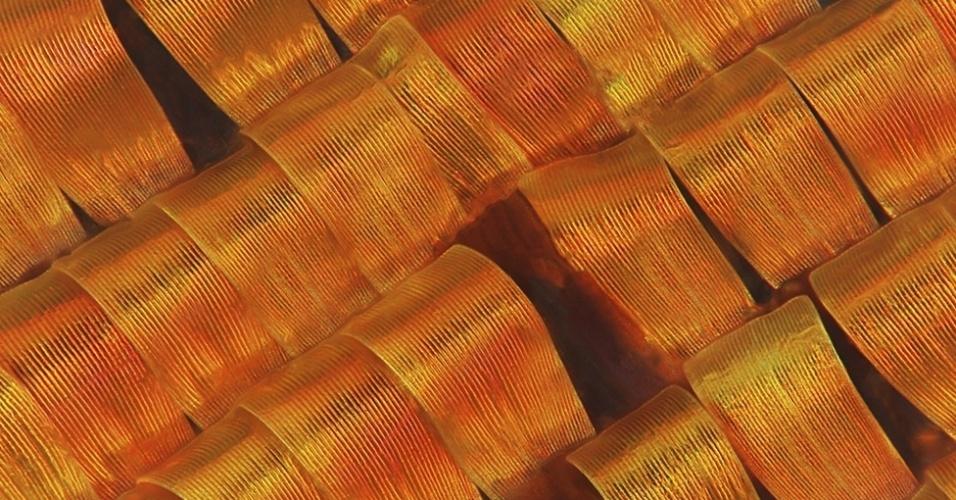 'A cor aqui, na verdade, é uma ilusão de ótica', disse o juiz Eric Hilaire. 'As escamas não têm muito pigmento, é a forma como a luz atinge as curvas que dá a elas a aparência de cor.' As escamas são de uma mariposa de Madagascar, que é frequentemente confundida com uma borboleta. A imagem tem 750 micrômetros (0,75 mm).