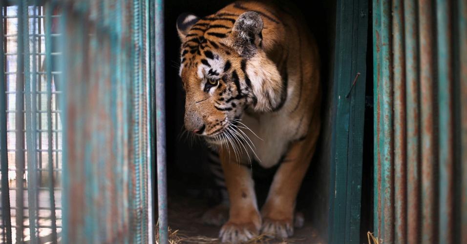 24.ago.2016 - Tigre em seu recinto antes de ser retirado pela fundação Four Paws International, de um zoológico em Khan Younis, na Faixa de Gaza