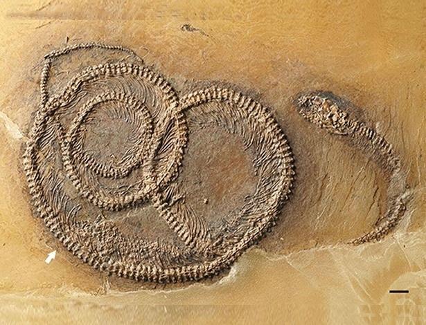 """Um fóssil de 48 milhões de anos """"flagrou"""" um inseto na barriga de um lagarto que está na barriga de uma cobra"""