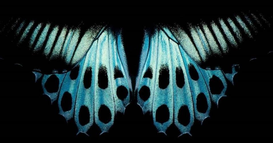 Padrão nas asas da borboleta conhecida como 'Blue Mormon', encontrada no sul da Índia e em Sri Lanka
