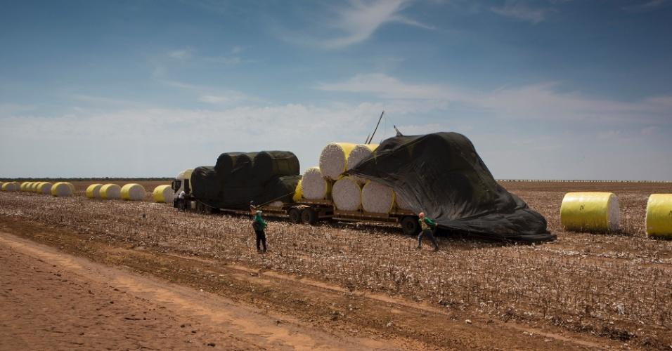 Nas terras da estrondo, algodão, soja e milho são as principais monoculturas
