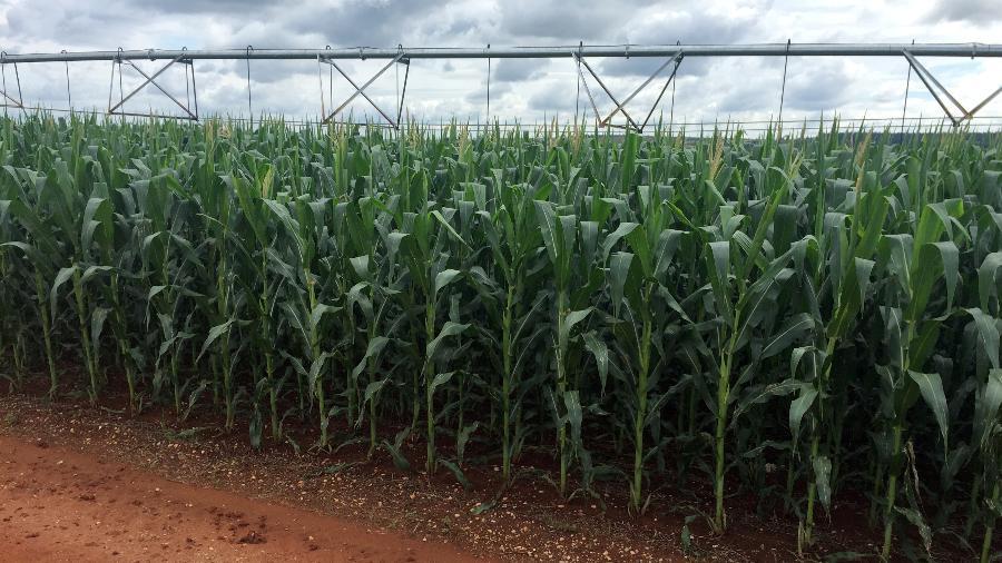 Brasil avalia contrato de opção para estimular milho em vez de soja no verão - MARCELO TEIXEIRA