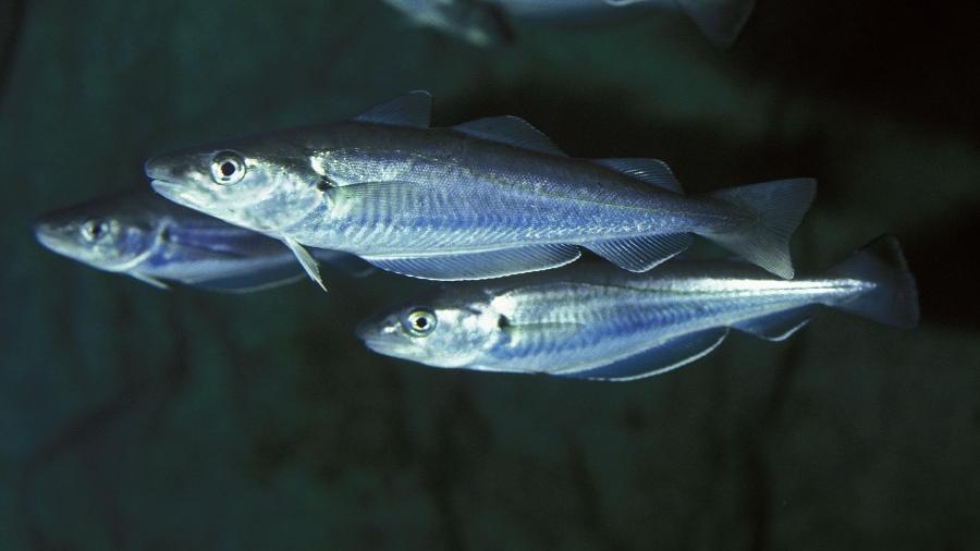 Badejo: peixe é um dos considerados para serem criados na lua para alimentar astronautas numa futura base lunar - iStock