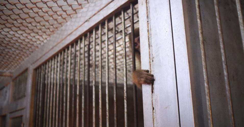 Macaco observa em sua jaula enquanto outros macacos são treinados para as comemorações de Ano Novo