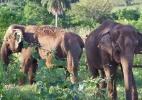 Elefantas voltam à natureza em MT e inauguram 1º santuário na América Latina (Foto: Reprodução/Facebook.com)