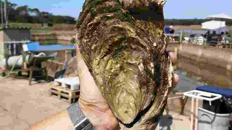 Funcionário da fazenda de ostras de Talmont-Saint-Hilaire, na costa atlântica da França, encontrou uma ostra de 1,440 quilo e 25 centímetros de comprimento - Handout / Viviers de la Guittière / AFP