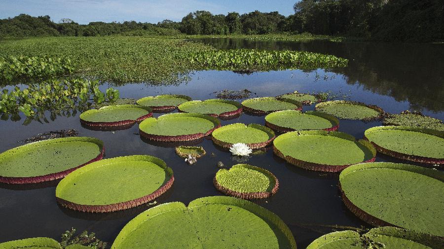 24.fev.2015 - Vitoria-regia em um corixo do rio Paraguai no Pantanal Mato-Grossense na região de Cáceres - Lalo de Almeida/Folhapress