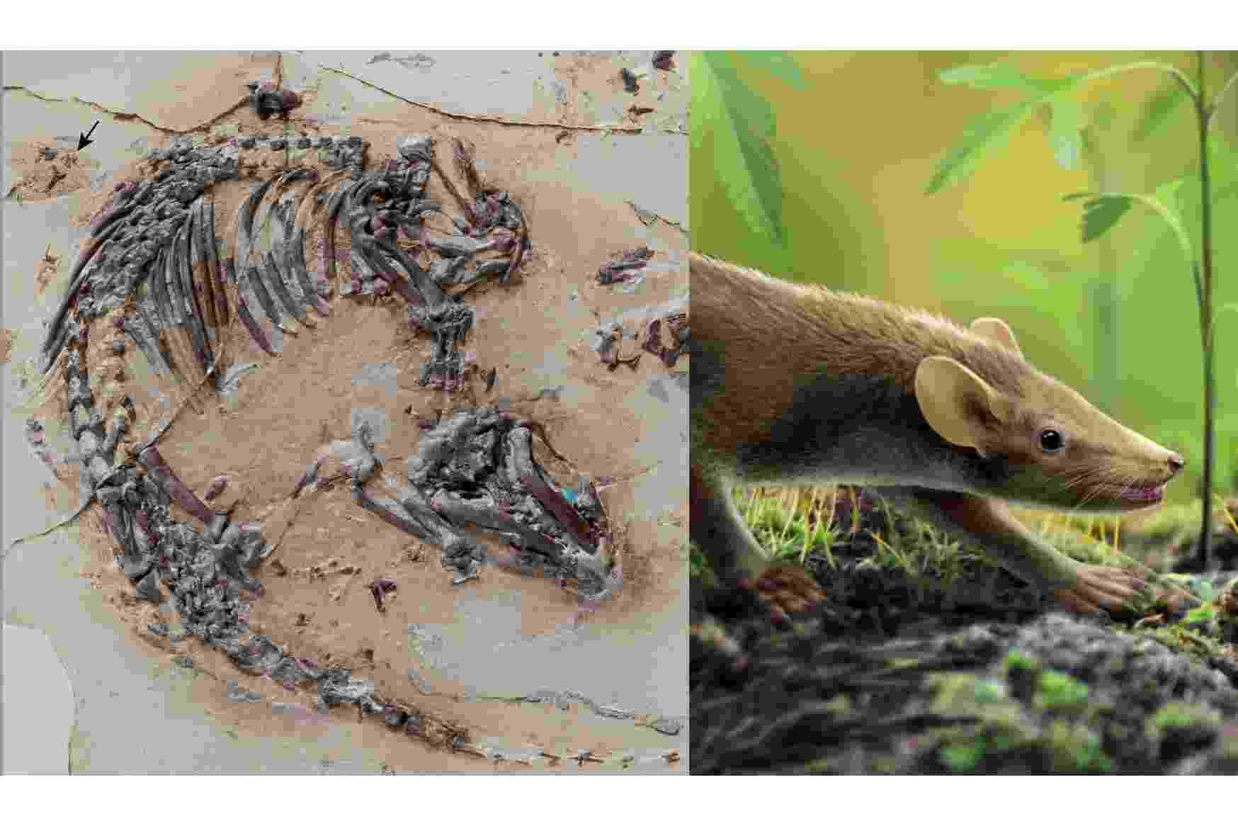 """RATO ANCESTRAL - O fóssil com idade de 125 milhões encontrado em Cuenca, na Espanha, tem o novo recorde entre os mais antigos fósseis de mamíferos encontrados. O anterior era de 60 milhões de anos. O fóssil da espécie nomeada de """"Spinolestes xenarthrosus"""" ainda possui algumas estruturas de órgãos preservadas e a evidência de uma infecção por fungos nos pelos. A espécie media cerca de 24 centímetros e tem um peso estimado entre 50 e 70 gramas. Paleontólogos realizam escavações na região de Cuenca desde 1985 e lá já encontraram milhares de fósseis, incluindo importante espécies de dinossauros e aves. Os resultados serão publicados na revista Nature nesta quinta-feira (15) - Georg Oleschinski/via Reuters/Oscar Sanisidro/Ilustração"""