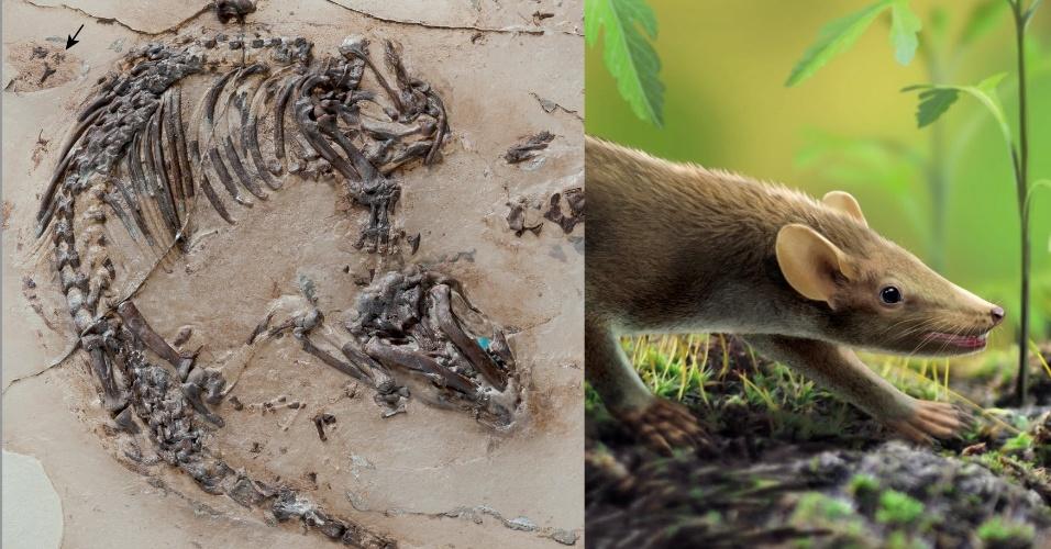 RATO ANCESTRAL - RATO ANCESTRAL - A descoberta de um fóssil de 125 milhões de anos pode ajudar os cientistas a entender a evolução das espinhos e dos pelos entre mamíferos. O fóssil da espécie