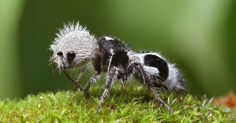 Conhecida como formiga panda, na verdade o que você vê é uma vespa da espécie Mutillidae que se parece com uma formiga peluda. Apesar de parecer fofa, sua picada pode ser extremamente dolorosa
