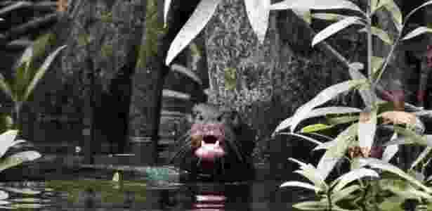 Ariranha na bacia do rio Içana, onde espécie havia desaparecido por volta dos anos 1940 -  Natália Pimenta -  Natália Pimenta