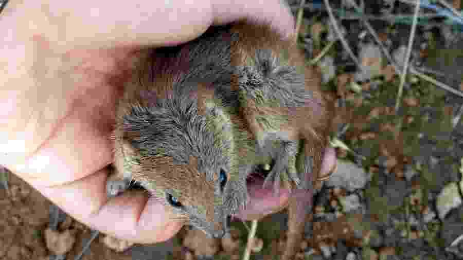 Pesquisador segura uma kaluta, um marsupial do tamanho de um rato presente na árida região australiana de Pilbara - University of Western Australia via AFP