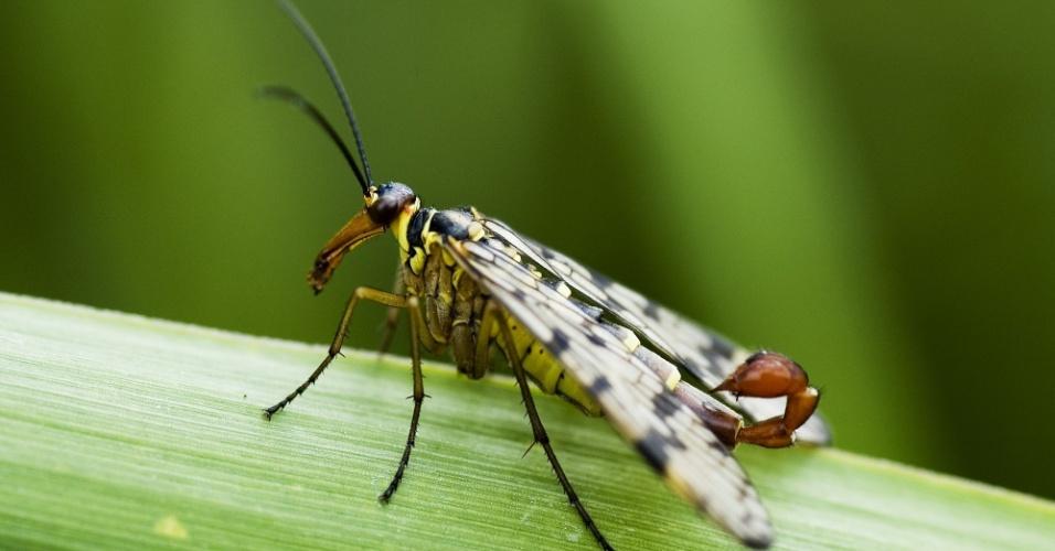 """Mosca-escorpião (Panorpa communis) - O escorpião já é rápido e traiçoeiro. Imagine ele com asas. Ainda bem que não existe um monstro assim. Os exemplares machos dos mecópteros, também chamados de moscas-escorpião, possuem genitais aumentados que se assemelham ao ferrão de um escorpião. Existem cerca de 555 espécies agrupadas em nove famílias dessa ordem de insetos distribuídas por todo o mundo.  Possuem pequeno e médio porte e se alimentam de vegetais ou de outros insetos. Inofensivos para os seres humanos, mas o """"ferrão"""" assusta"""