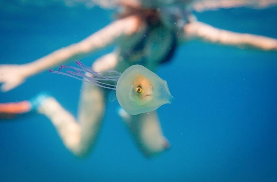 7.jun.2016 - O fotógrafo australiano Tim Samuel registrou uma cena rara enquanto mergulhava em Byron Bay, na Austrália: um peixe dentro de uma água-viva.