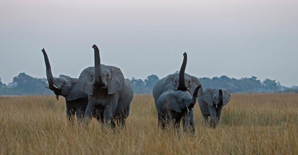 26.ago.2016 - Uma manada de elefantes em Botsuana. Conhecidos pelo olfato excelente, os elefantes cheiram agitando as trombas no ar