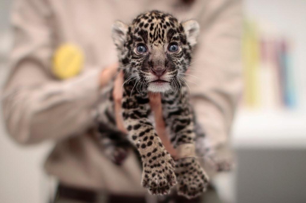 17.jun.2016 - Um filhote de onça-pintada é apresentado no zoológico Reino Animal em Teotihuacan, no México. Um programa de conservação de espécies ameaçadas em extinção divulgou que três onças nasceram em cativeiro no dia 23 de maio