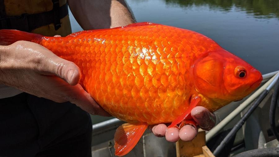 Peixes-dourados abandonados em lago no estado norte-americano de Minnesota cresceram tanto que chamaram a atenção das autoridades - Reprodução/Twitter/@BurnsvilleMN