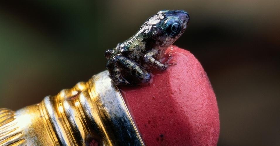 25.fev.2016 - Nativo da América Central, o sapo túngara tem o tamanho da borracha de um lápis, assim como outros da mesma espécie