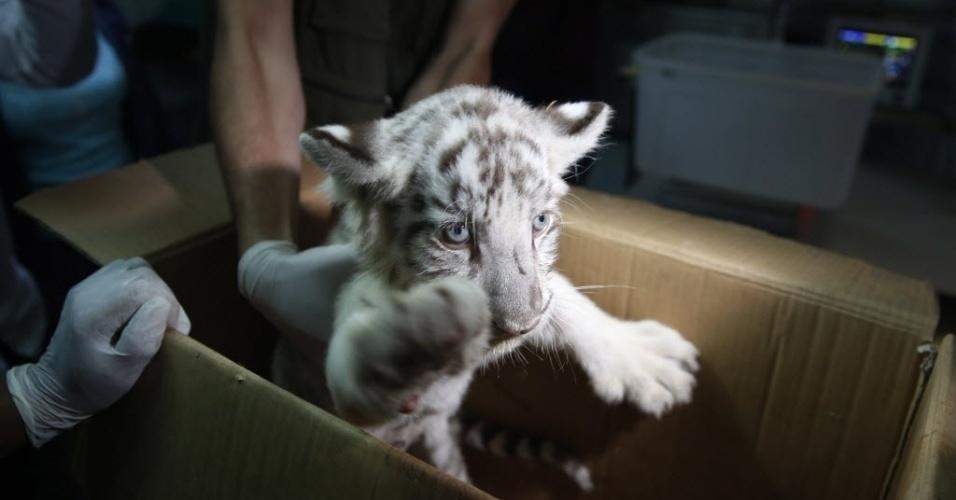 16.mar.2016 - Um filhote de tigre-de-bengala é apresentado para impressa após ser tratado por veterinários no zoológico de Huachipa, em Lima, no Peru