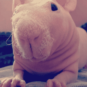 Porquinho-da-índia sem pelos - Reprodução/Instagram