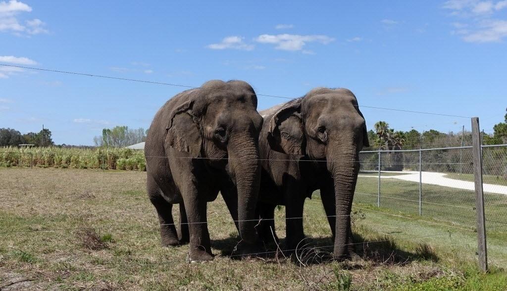 2.mai.2016 - Uma dupla de elefantes fêmea caminha por um abrigo de conservação de elefantes em na cidade de Polk, Flórida, Estados Unidos. O local recebe animais de circo que se
