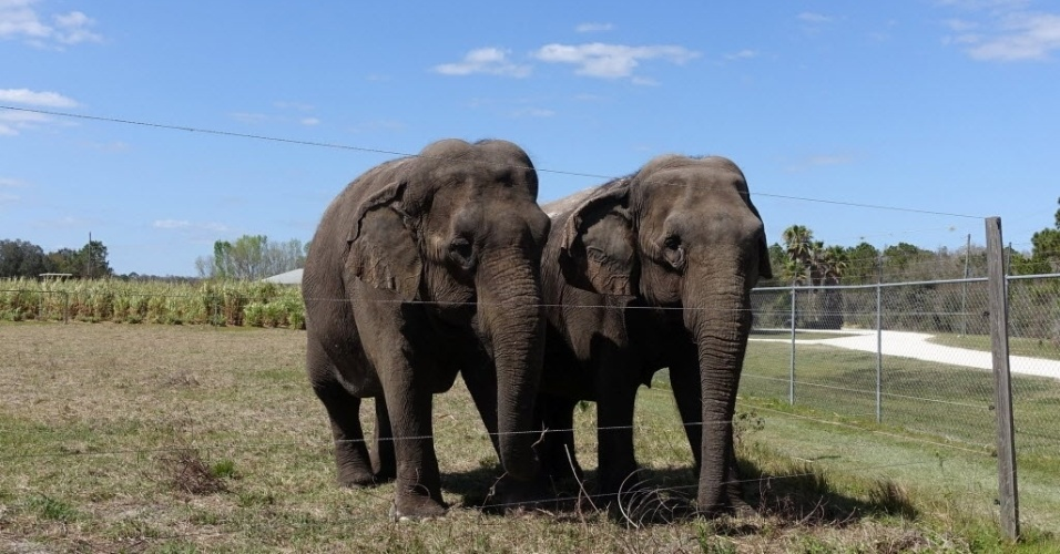 """2.mai.2016 - Uma dupla de elefantes fêmea caminha por um abrigo de conservação de elefantes em na cidade de Polk, Flórida, Estados Unidos. O local recebe animais de circo que se """"aposentam"""" e vão descansar"""