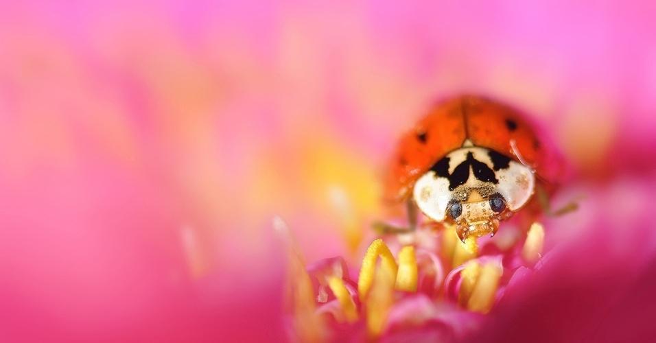 16.mai.2016 - Uma joaninha é fotografada numa flor cor de rosa. Joaninhas ajudam as preservar as flores comendo insetos que poderiam consumi-las