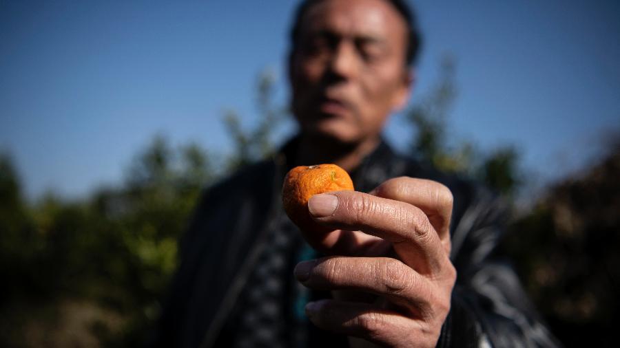 12.jan.2021 - O agricultor Liu Qingyou segura uma fruta em seu pomar de laranja no condado de Baojing, na província de Hunan, no centro da China - Noel Celis/AFP