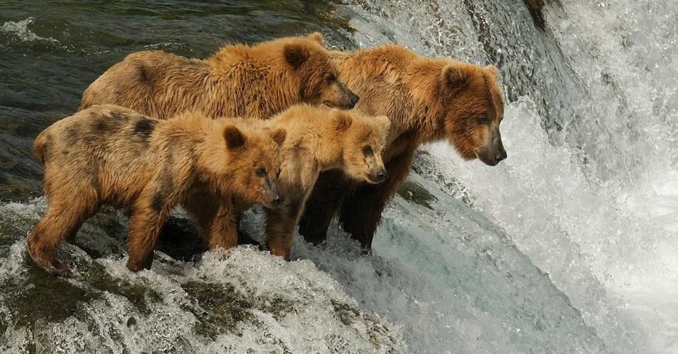 Uma família de ursos marrons no Parque Nacional Katmai, no Alasca. Cerca de 2200 ursos marrons vivem na reserva onde têm abundância de salmão vermelho durante o verão