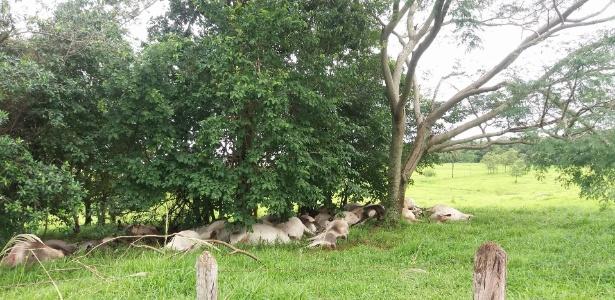 Bois atingidos por raio se esconderam embaixo de árvores durante tempestade