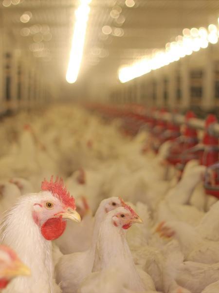 A trituração de frangos machos será proibida na França a partir do próximo ano - Getty Images/iStockphoto