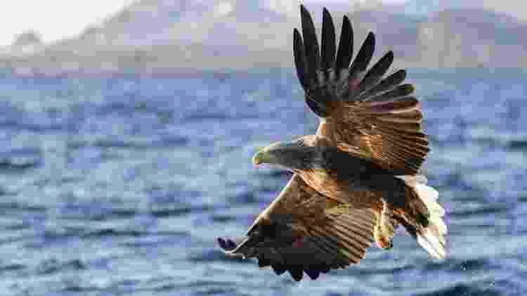 Águia com envergadura das asas de mais de dois metros foi por anos caçada sem piedade na Grã-Bretanha - Getty Images