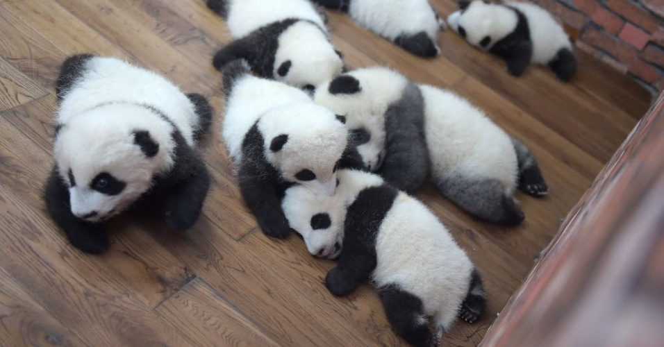 19.out.2016 - Base do Panda Gigante, na China, tem jardim de infância para os animais. No local, há 23 filhotes nascidos neste ano