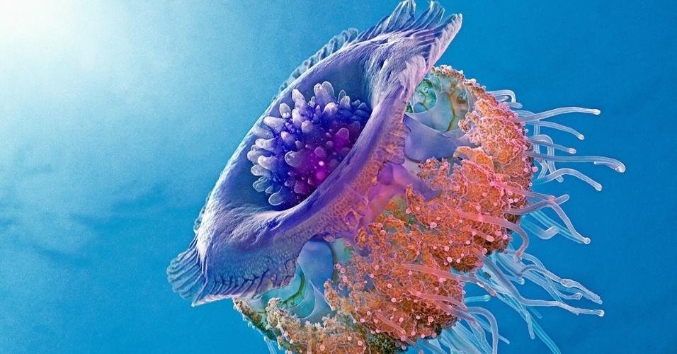 Uma medusa coronata no mar Vermelho. Por serem invertebradas, as medusas não são classificadas como peixes. Seus parentes mais próximos são as anêmonas e corais