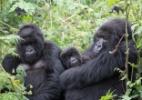 Fêmeas preferem gorilas que se dedicam aos filhotes, aponta estudo - Tierra Similey Evans/UC Davis