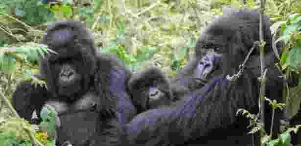 Machos de espécie encontrada em Ruanda dedicam bastante tempo cuidando dos filhotes da comunidade, sendo eles de sua prole ou não - Tierra Similey Evans/UC Davis