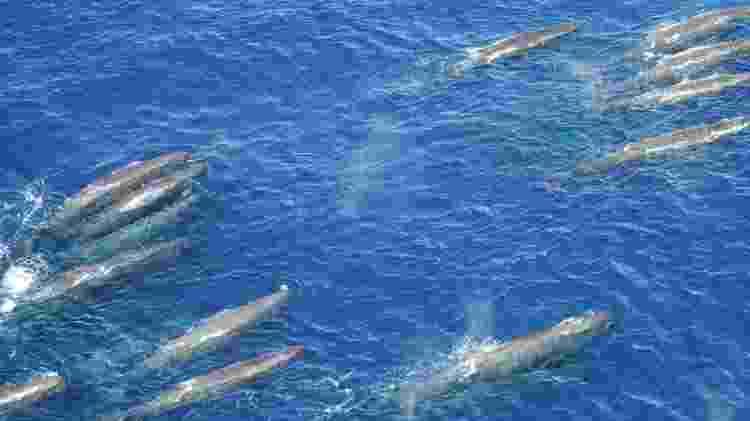 Grupo de cachalotes é filmado na Bacia de Santos - Divulgação/Socioambiental Consultores Associados