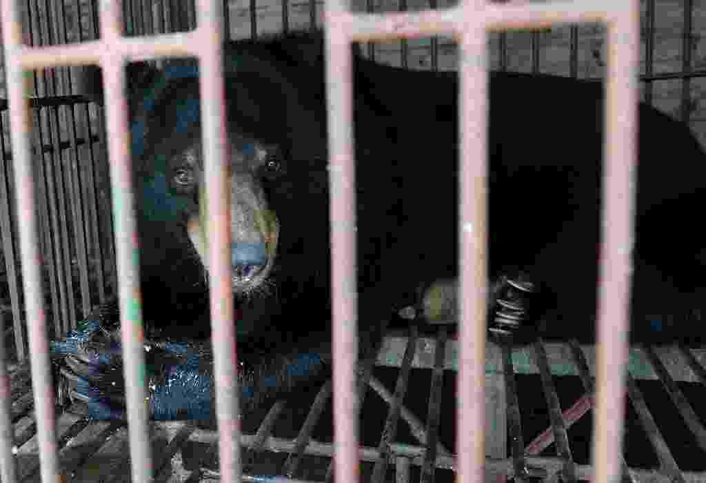 25.jun.2015 - Um urso-negro-asiático anda por gaiola de metal em uma fazenda em Quang Ninh, no Vietnã.  Sete ursos adultos foram resgatados de fazendas no norte do país, como parte os esforços para acabar com o comércio ilegal.  Fazendeiros alegam manter os bichos como animais de estimação para vender o fluido digestivo do animal, que segundo a crença da região, tem propriedades curativas - Hoang Dinh/AFP