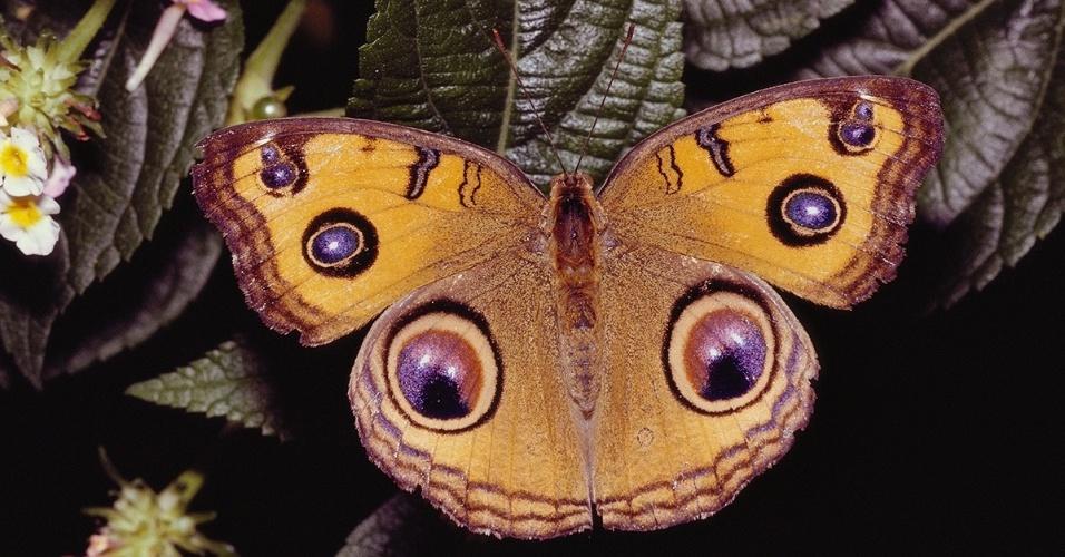 Borboleta da espécie Junonia almana pousa em uma folha no sudeste da Ásia. Nativa do sul da Ásia, essa borboleta apresenta desenhos diferentes nas asas durante as estações úmidas e secas