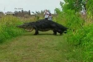 Jacaré gigante é filmado durante passeio na Flórida (Foto: Reprodução/BBC)