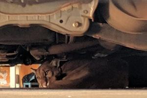 Onça-parda é encontrada em garagem em SP e resgate dura seis horas (Foto: Divulgação/Corpo de Bombeiros)