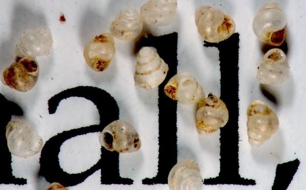 09.nov.2015 - Pesquisadores descobriram em florestas do Bornéu, ilha localizada na Oceania, o menor caracol do mundo. Ou melhor, encontraram seus vestígios. Conchas medindo entre 0,6 e 0,79 mm foram recolhidas na base de falésias da ilha. Os cientistas responsáveis pela descoberta estão chamando o pequeno molusco terrestre de Acmella nana. Eles imaginam que ele se esconda em fendas de rochas e se alimente de fungos e bactérias. Na foto ampliada, as conchas aparecem sobre papel impresso com letras de tamanho das utilizadas em textos de revistas. A espécie possui alguns milímetros a menos que o recordista anterior, uma espécie chinesa chamada Angustopila dominikae, descoberta há um mês