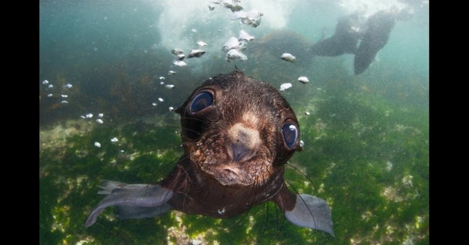 23.fev.2016 - Um filhote de foca curioso examina a câmera no Mar de Bering. A foto é de Andrey Narchuk e é parte da seção Natureza Aberta e Vida Selvagem