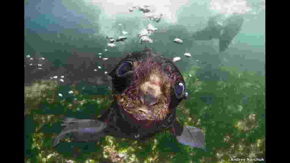 23.fev.2016 - Um filhote de foca curioso examina a câmera no Mar de Bering. A foto é de Andrey Narchuk e é parte da seção Natureza Aberta e Vida Selvagem - 2016 Sony World Photography Awards