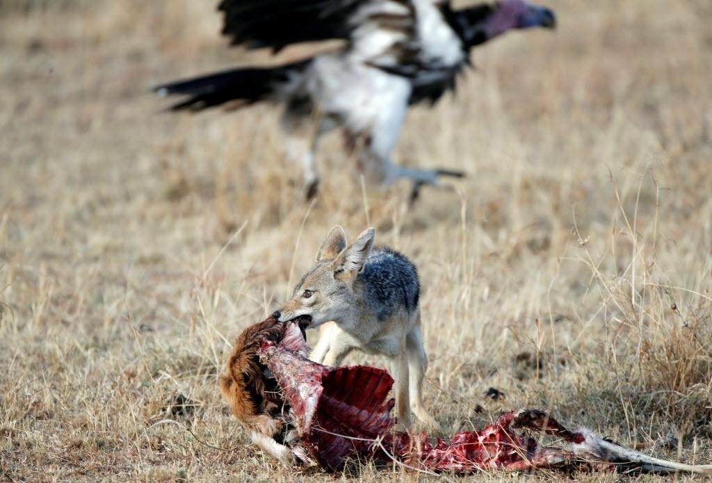 18.set.2016 - Mais rápido que o abutre (ao fundo) chacal leva resto de animal morto, para comer, na Reserva Nacional Masai Mara, no Quênia