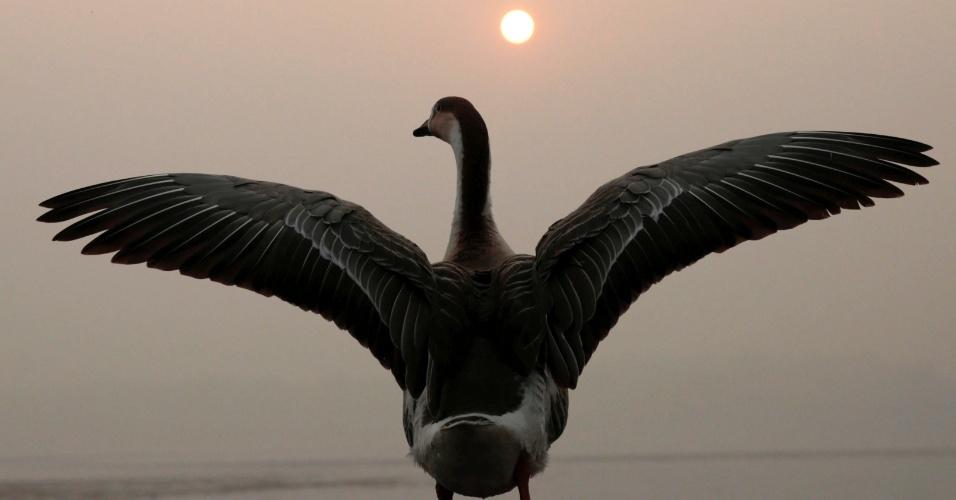 28.nov.2016 - Cisne abre suas asas para o sol, perto do Lago Dal em Srinagar, na Índia